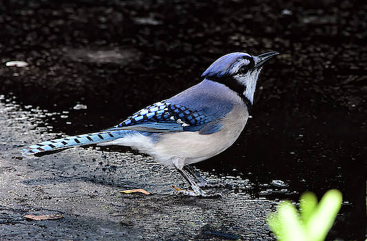 Parking Lot Blue Jay by William Tasker