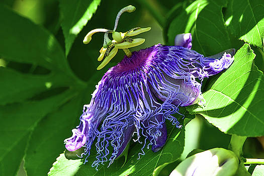Passiflora incarnata by William Tasker