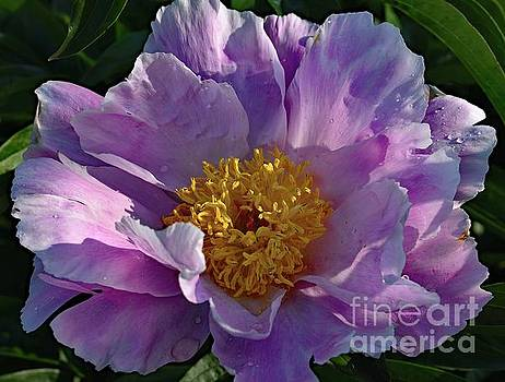 Cindy Treger - Pastel Bowl of Beauty Peony
