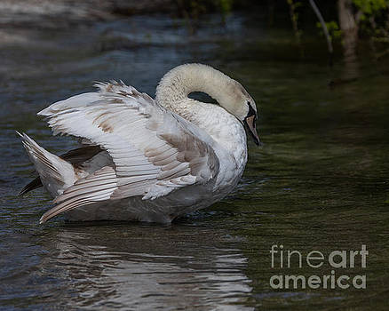 Patchy Swan by Alma Danison