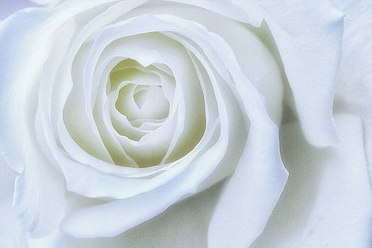 Natural Abstract Photography - Peace Rose