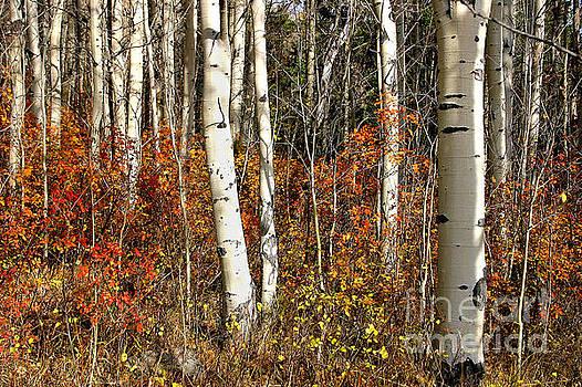 peaceful fall scene white black aspen trunks Populus tremuloides by Robert C Paulson Jr