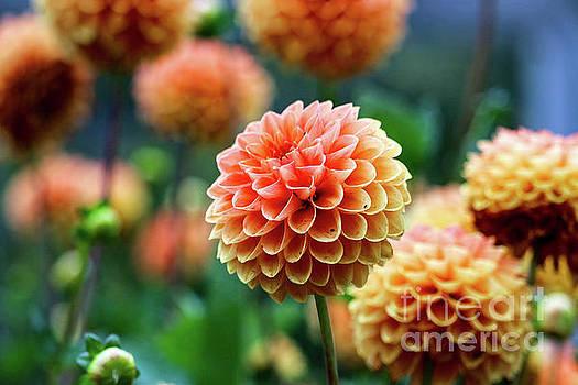 Peach Dahlias by Susan Rydberg