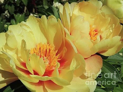 Peach Peonies by Julie Rauscher