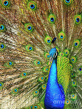 Peacock Colors by Charles McKelroy