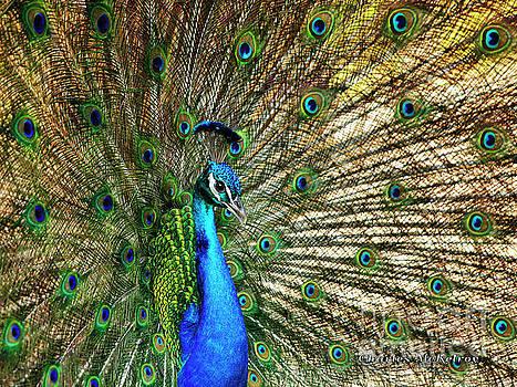 Peacock Full Bloom by Charles McKelroy