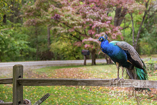Lisa Lemmons-Powers - Peacock on a Fence