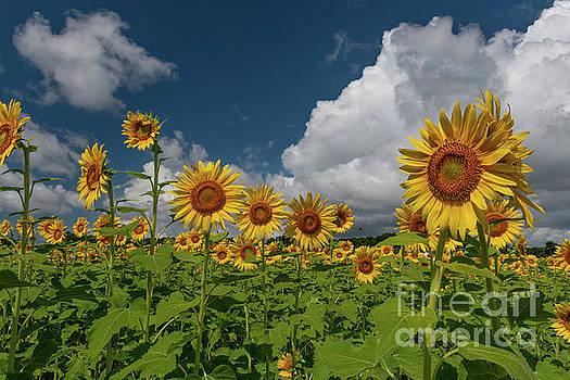 Dale Powell - Peak Growing Season - Sunflowers
