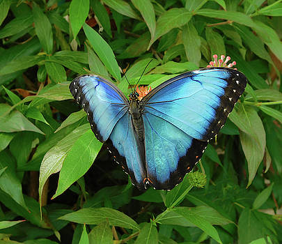Peleides Blue Morpho Butterfly by Emmy Marie Vickers