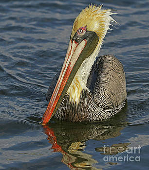 Pelican After the Dive by Larry Nieland