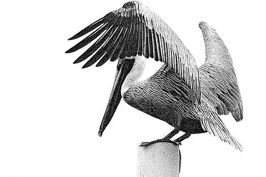 Pelican, Black and White by Jeff Williams