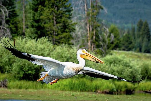 Pelican in Flight by Joe Schwartz