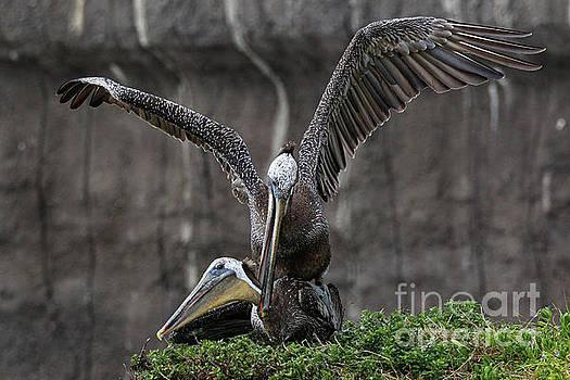 Pelican Love 8592 by Craig Corwin