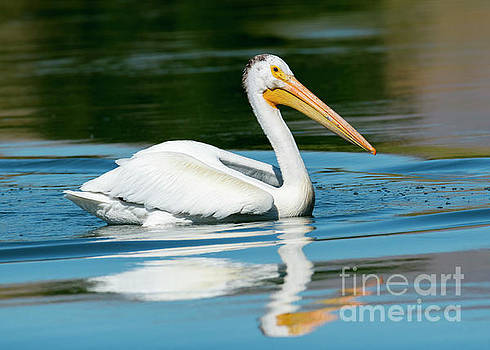 Pelican Reflected by Mike Dawson