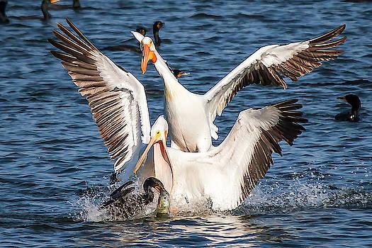 Pelicans after Fish by David Wagenblatt