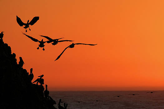Pelicans at Sunset by TB Sojka