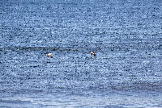 Pelicans by David Stasiak