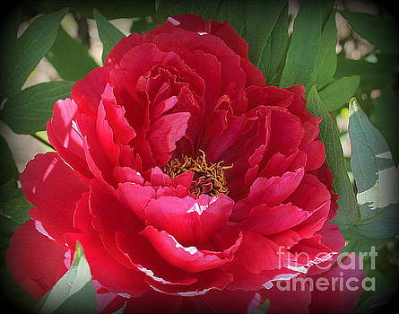 Peony in Ruby Red by Dora Sofia Caputo Photographic Design and Fine Art