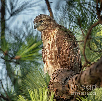 Dale Powell - Perched for Hunting - Red Tailed Hawk
