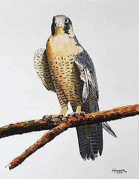 Peregrine Falcon with a Broken Wing by Nelson Hammer