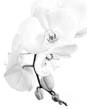 Perfect black and white orchid by Delphimages Photo Creations