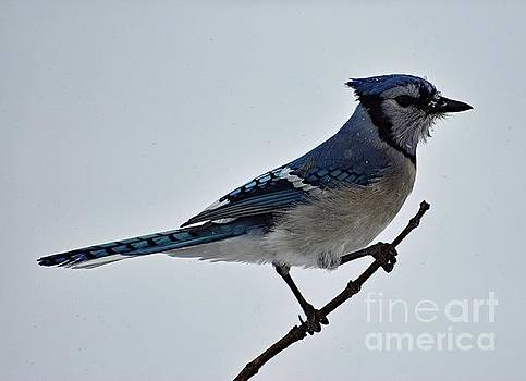 Cindy Treger - Perfect Pose - Blue Jay