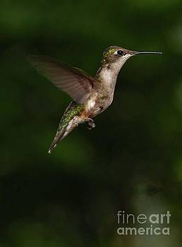 Perfect Profile Female Ruby-throated Hummingbird by Cindy Treger