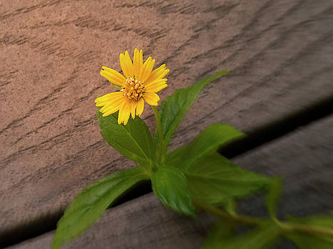 Persistence - Yellow Wildflower on the Boardwalk by Mitch Spence