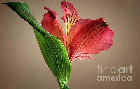 Peruvian Lily by Susan Warren