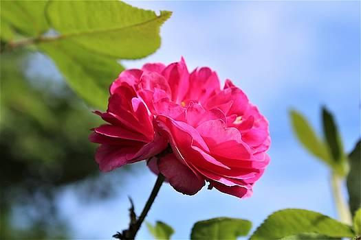 Heather Mattioni - Petals of a Rose