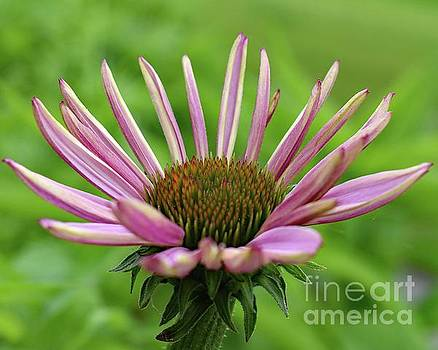 Cindy Treger - Petals With No Beginning And No Ending - Coneflower