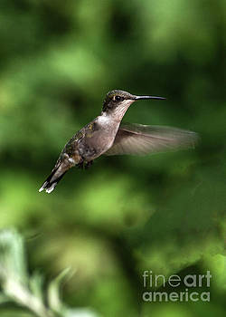 Petite Female Ruby-throated Hummingbird by Cindy Treger