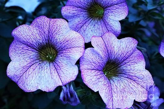 Petunias  by Dee Winslow