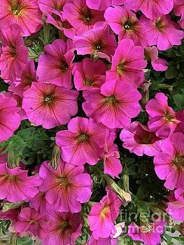 Petunias I P by Linda Covino