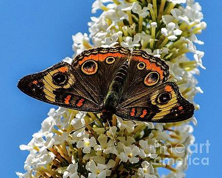 Cindy Treger - Phenomenal Common Buckeye
