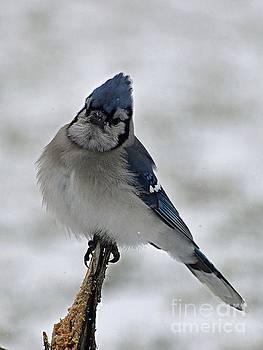 Cindy Treger - Photogenic Blue Jay