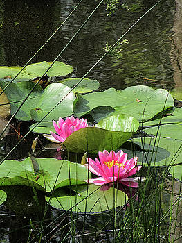 Kathy Clark - Picture Perfect Pink Waterlilies