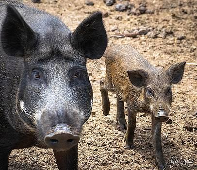 Piggies  by Phil S Addis