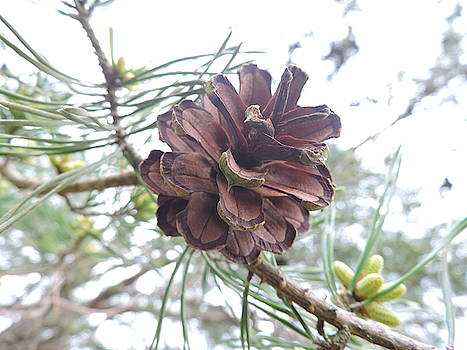 Pine Cone by Abagail Wells