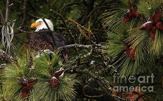 Pine Cones Needles Eagles by Greg Patzer