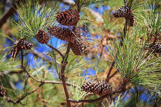 Pine Cones on a Tree Limb by Doug Camara