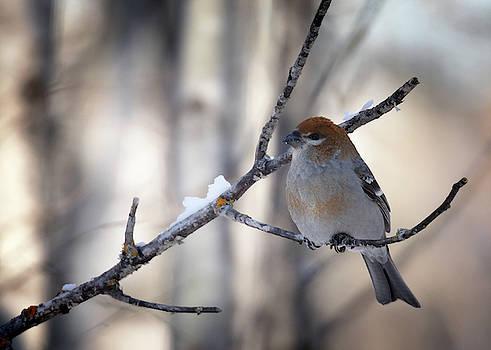 Susan Rissi Tregoning - Pine Grosbeak Female