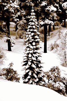 Pine in Nevada by Maria Coulson