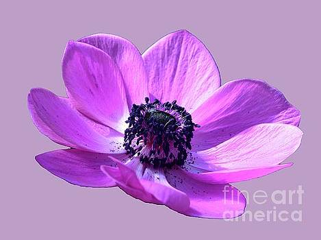 Pink and Purple Poppy by Cindy Manero