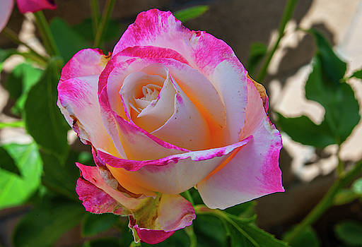 Pink and White Rose by Anthony Jones