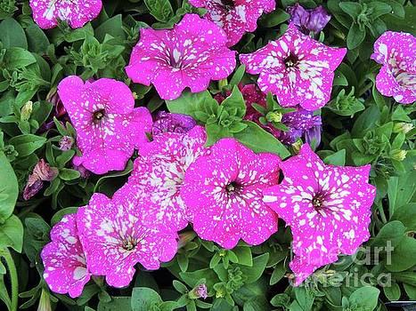 Pink and White Splattered Petunias by Julie Rauscher
