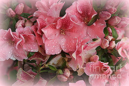 Pink Azaleas in Early Spring by Dora Sofia Caputo Photographic Design and Fine Art