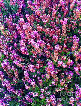 Pink Blooms  by Carol Eliassen