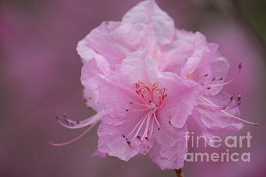 Pink Blossom  by Kristi Cromwell