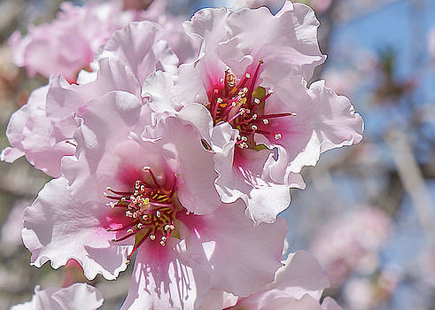 Pink Blossoms by Mariola Szeliga